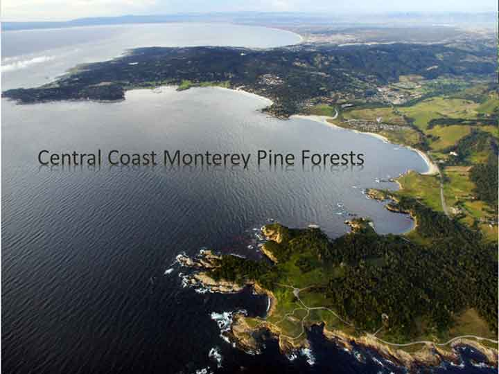 The Monterey Pine Forest
