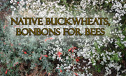 Native Buckwheats, Bonbons for Bees