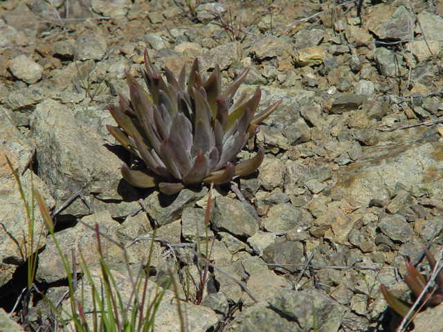 Dudleya setchellii at Coyote Ridge