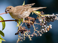 Female house finch on blue elderberry