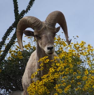 bighorn sheep anza borrego lohse