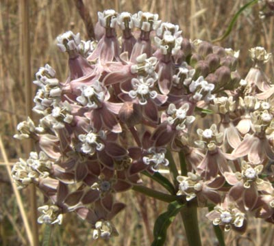 asclepias-fascicularis-narrow-leaved-milkweed-close