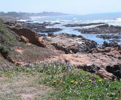 Coastal flowers overlooking tidepools and Pacific Ocean beyond
