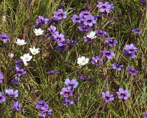 Blue-eyed grass in coastal prarie