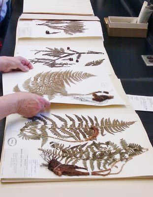 herbarium sheet Dryopteris arguta.  Photo Richard Tiede