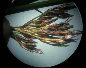juncus tip under a microscope