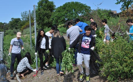 Native Hill workday: Biology students pulling out radish - photo by Tom Lee