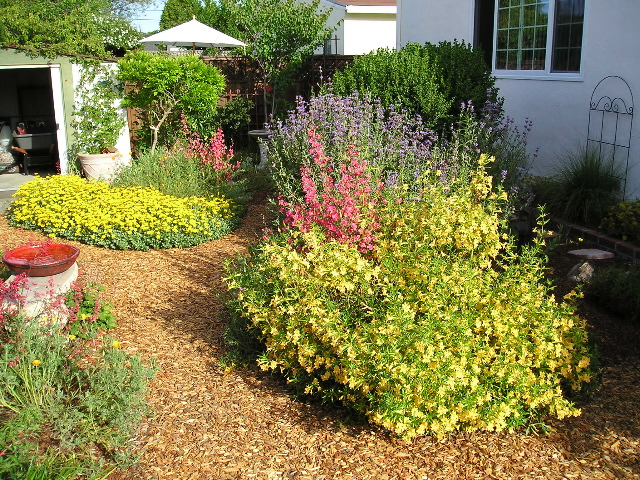 Woolly sunflower, monkeyflower, elegant clarkia, and Cleveland sage in a Sunnyvale garden