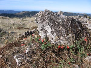 Red fuschia blossoms at the base of a rock at Black Mountain Peak.  Photo by Carol Mattsson